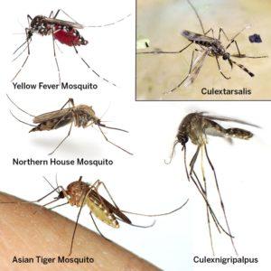 Mosquito Types