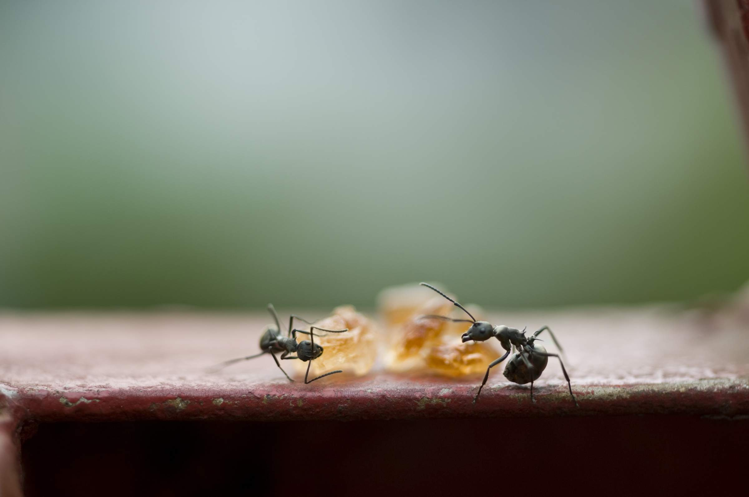 how-to-get-rid-of-sugar-ants