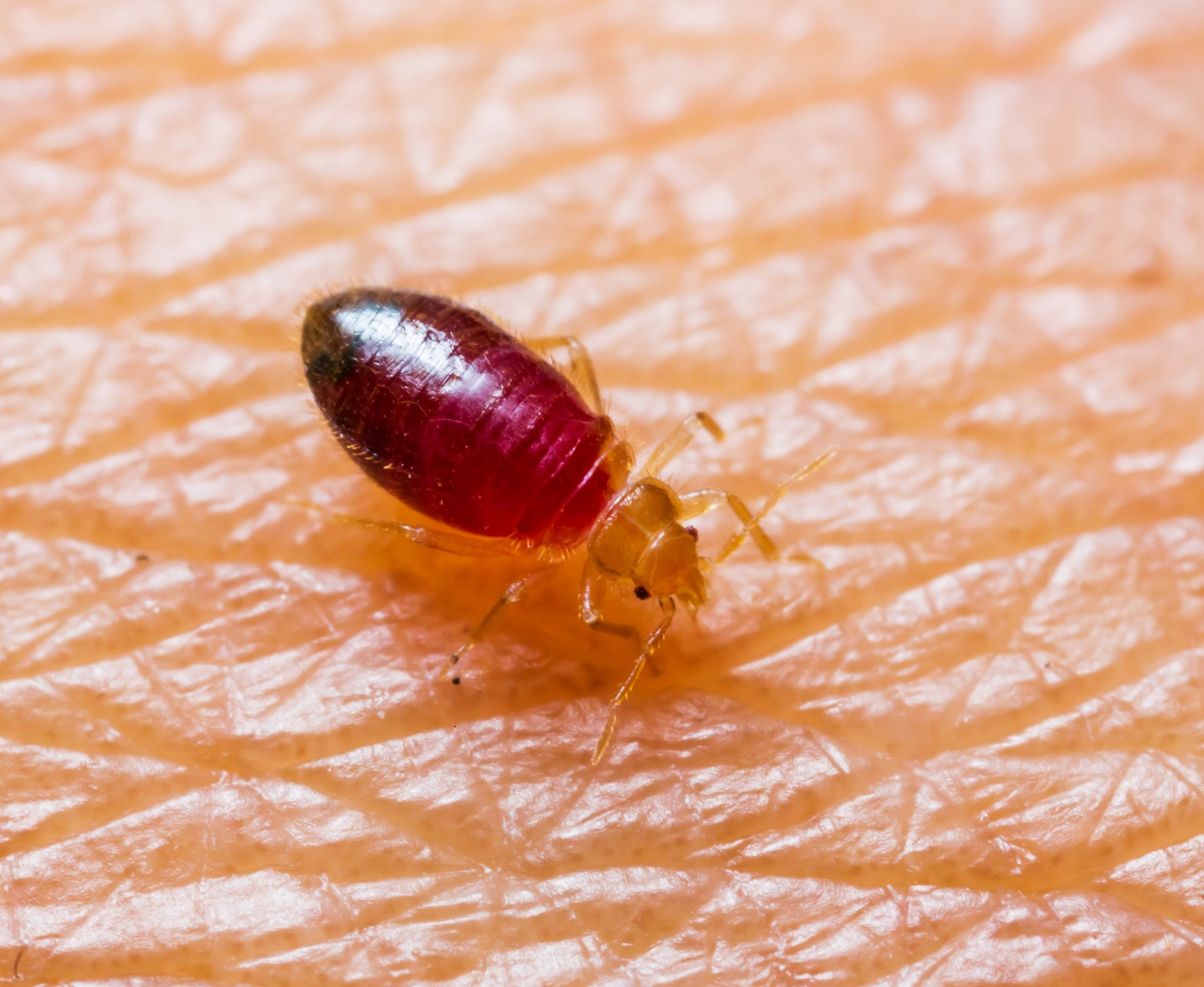 BABY BEDBUGS, WHAT DO BABY BEDBUGS LOOK LIKE