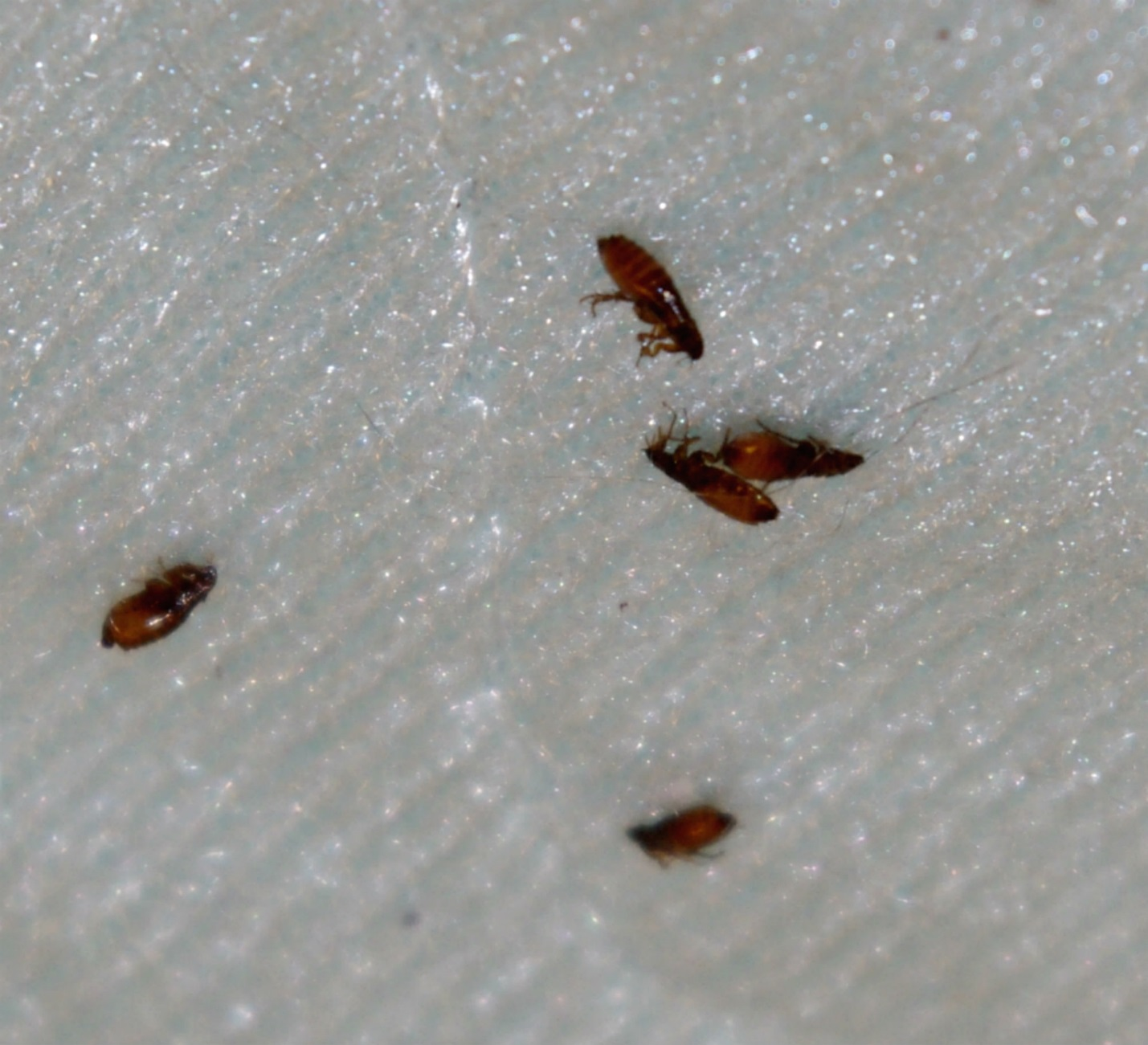 What Do Fleas Look Like How To Get Rid Of Them