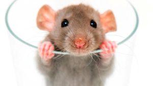 rat-behavior