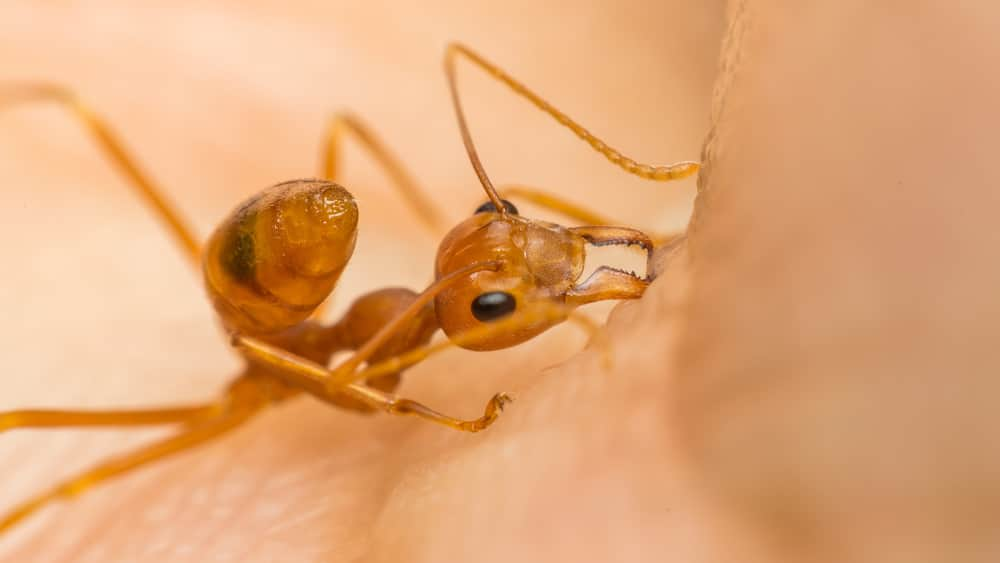 What is an Ant Bite?