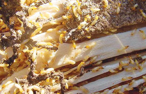 termites-bond