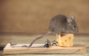 22 Best Mouse Trap Baits