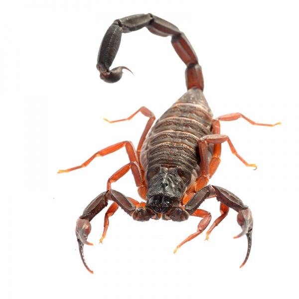 florida scorpions