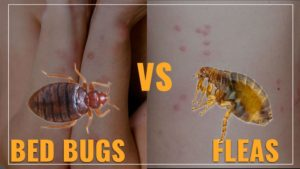 Bed Bug Bite Vs. Flea Bite