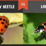 Asian Beetles VS Ladybugs