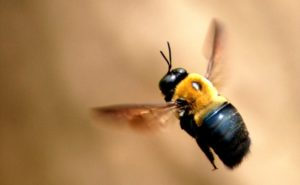 Carpenter Bees - 7 Effective Ways to Get Rid of It