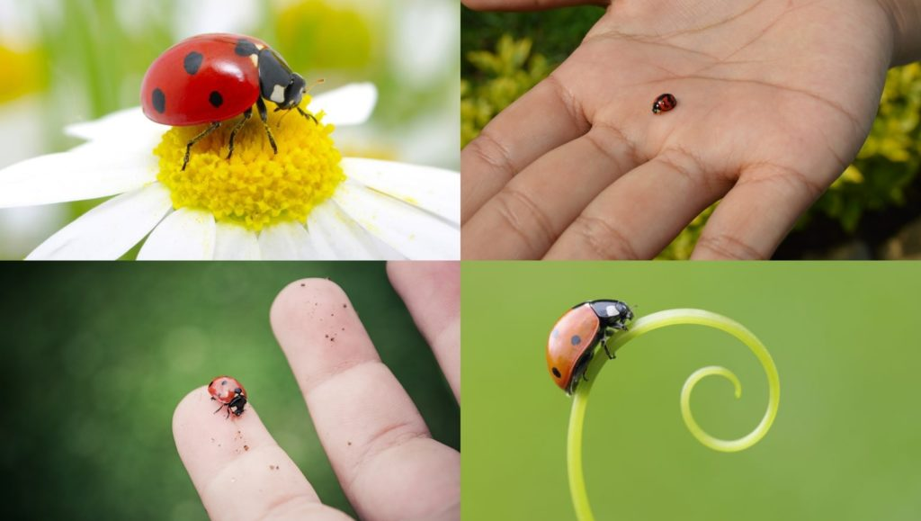 What Are Ladybugs?