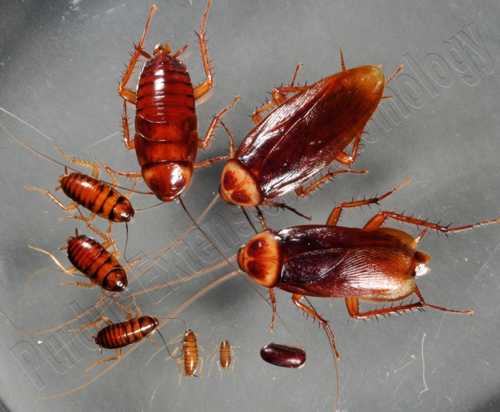 COCKROACH LIFE CYCLE: