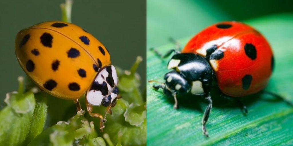 Asian Lady Beetle Vs Ladybug