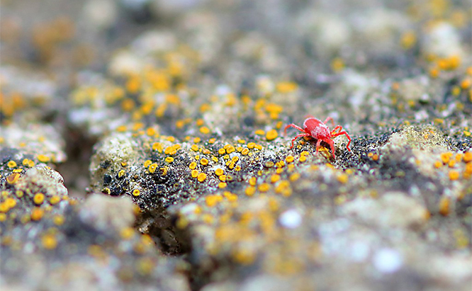 Clover Mites (Tiny Red Bugs)