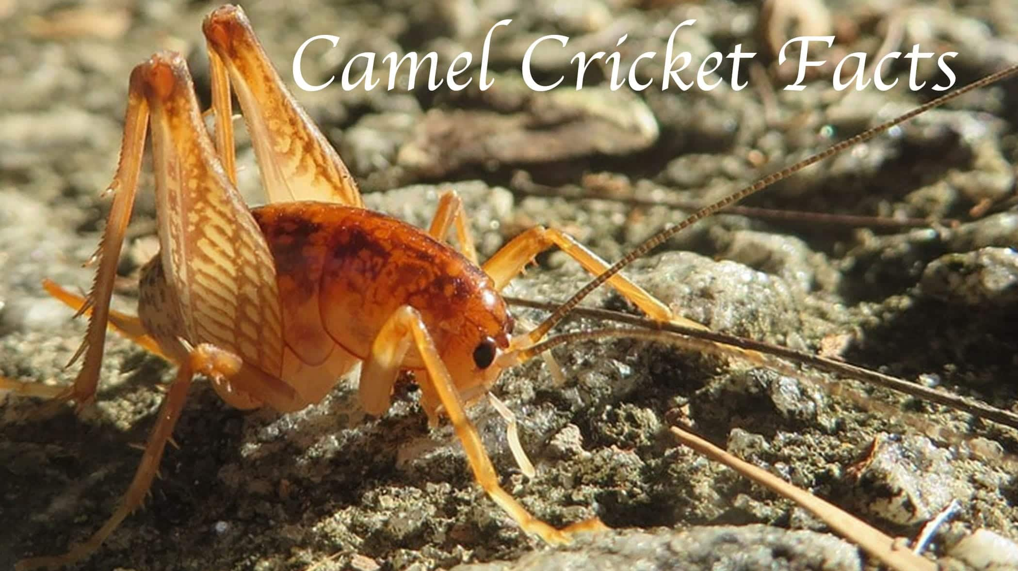 camel-cricket-facts