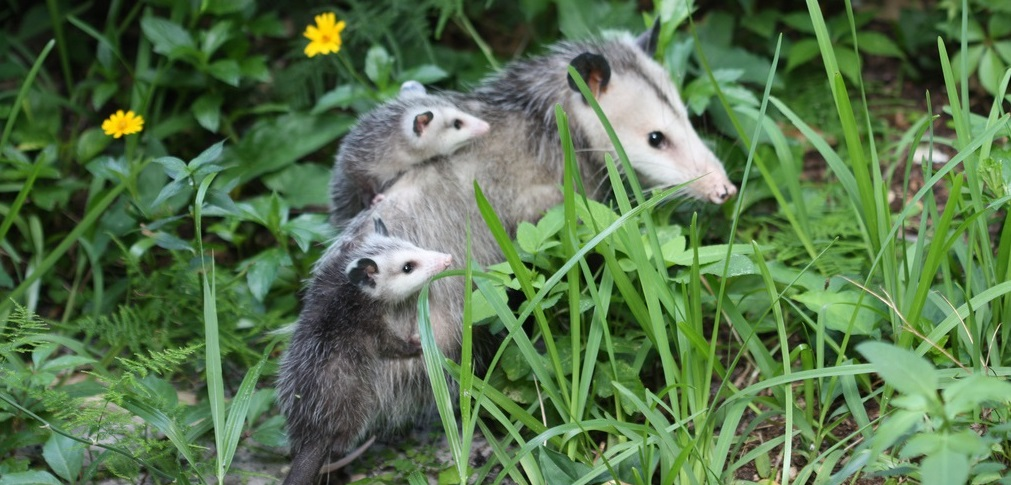 What do Possums Eat - Why Opossums Eat Ticks